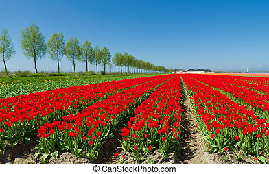 tulip field - field with red tulips in the netherlands