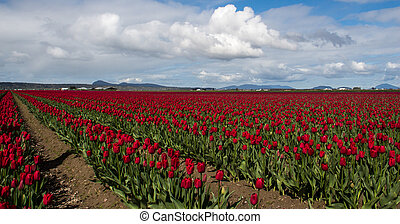 Tulip field - A huge field of tulips in the Skagit Valley