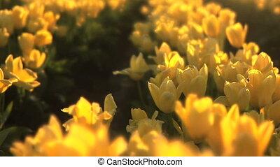 Tulip Field - Tulip festival, Woodburn, Oregon, pan
