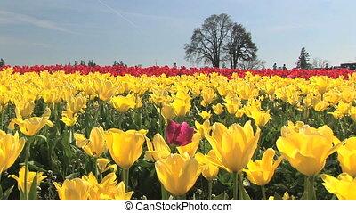 Tulip festival, Woodburn, Oregon
