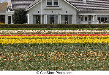 Tulip fields in the Bollenstreek, South Holland, Netherlands