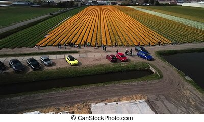 Tulip flower field in The Netherlands, Holland europe. Touristic attraction in spring time on a clouded day.
