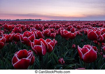 Tulip flower field in the Netherlands Noordoostpolder during sunset dusk Flevolands, colorful lines of tulips
