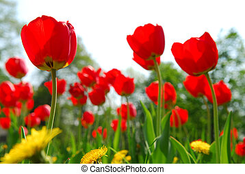 Tulip flower field - Red tulips and yellow dandelions ...