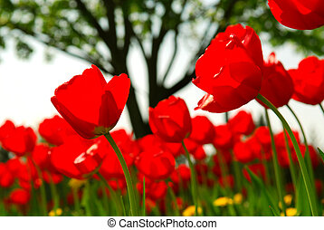 Tulip flower field - Red tulips flowers blooming in a spring...