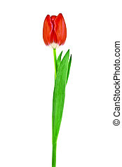 Tulip flower isolated on white background