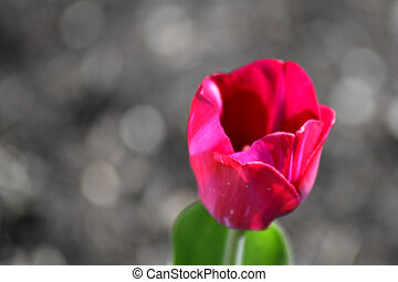 tulip flower with blurred background