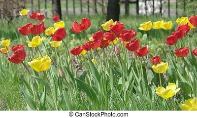 Tulip flowerbed. Fresh spring flowers in the garden