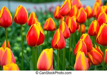 Tulip flowerbed, red, yellow tulips in the garden