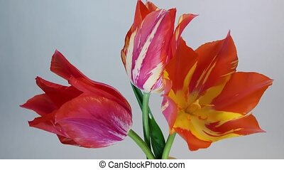 Tulip flowers blooming - Isolated flower blooming timelapse...
