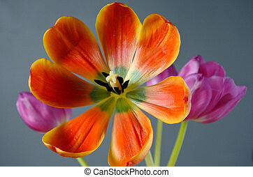 Tulip flowers bouquet background
