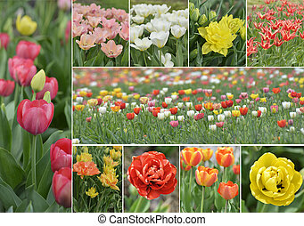 Tulip Flowers Collection