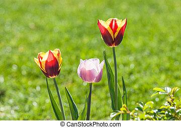 Tulip flowers in a green garden