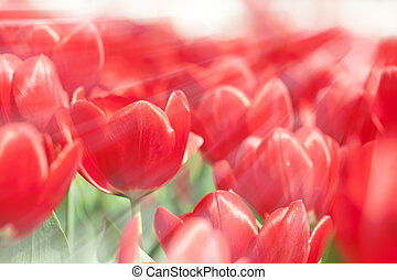 Tulip flowers in spring