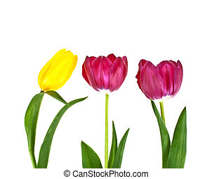 Tulip flowers isolated on white background