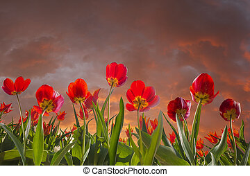 Tulip flowers meadow and sky