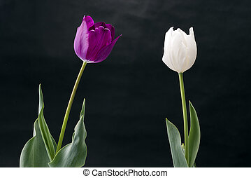Tulip flowers - Two colors of tulip flowers in front of...