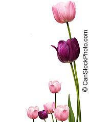 Tulip Fram