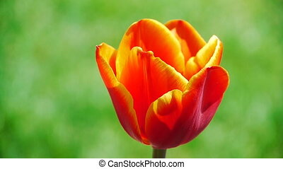 Tulip garden beatiful flowers natur - Beautiful Tulip with...