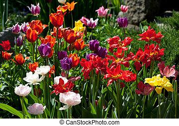 Tulip garden - Colorful tulip garden in the spring