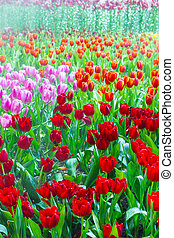tulip garden in nature