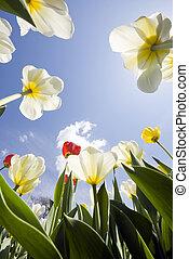 Tulip garden outdoor blue sky sunshine flower bloom blossom