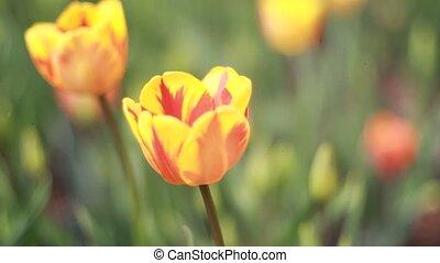 tulip growing  in garden on green
