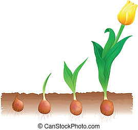 Tulip growth - Illustration of tulip growth stages