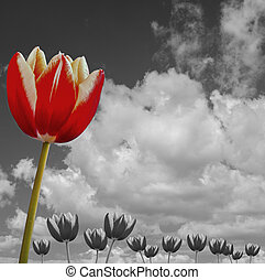 tulip in a black and white sky