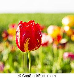 tulip in a field of flowers