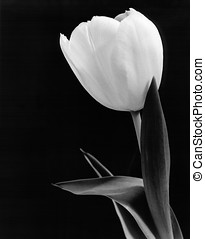 Tulip in Black & White - Group of tulips with black...