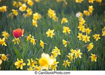 Tulip in Daffodils Field