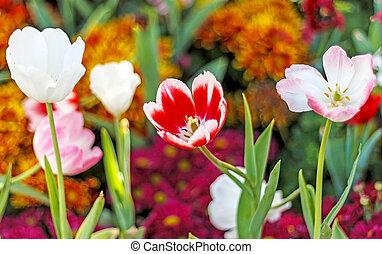 tulip in garden