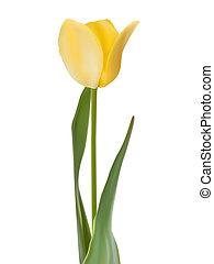Tulip isolated on white. EPS 8