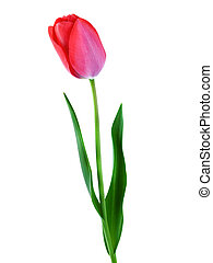 Tulip isolated on white vertical composition