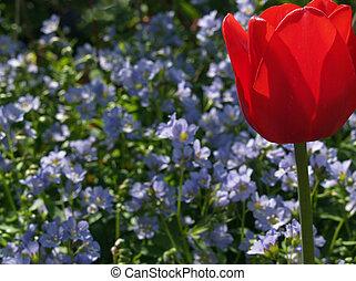 Tulip & Jacob\\\'s Ladder - Tulip (Tulipa gesneriana) with...