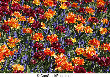 Tulip mix with hyacinths in spring