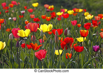 Tulip mixture in spring, Germany