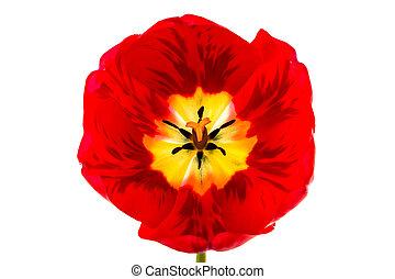 Tulip on white background