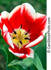 Tulip Red White Flower in