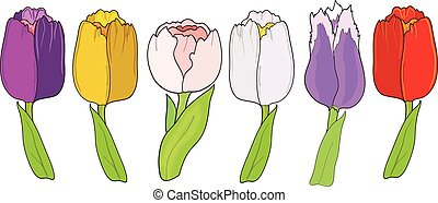 Tulip. Set on white background
