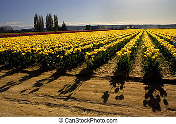 Shadows of Yellow Tulips, Tulip Fields, Mount Vernon, Skagit County, Washington, The Tulip Festival every spring brings tourists to see the beautiful tulip fields.