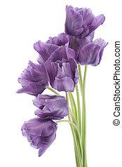 tulip - Studio Shot of Violet Colored Tulip Flowers Isolated...
