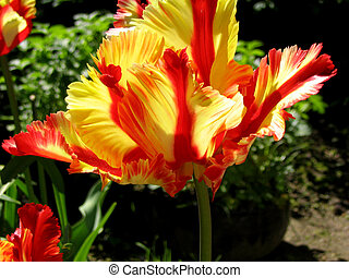 sunlight shining through the translucent petals of a red and yellow parrot tulip