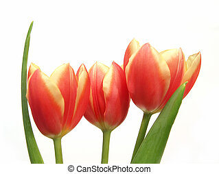 three spring tulips with leaves