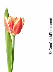 tulip - tulipa gesneriana - a single tulip flower and leaf