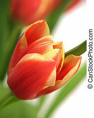 tulip - tulipa gesneriana - a single tulip focused in a ...