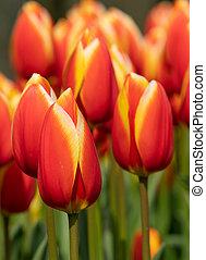 Tulip, Tulipa - Tulip (Tulipa), close up of the flower of ...