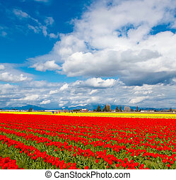 Tulip valley red bloom.