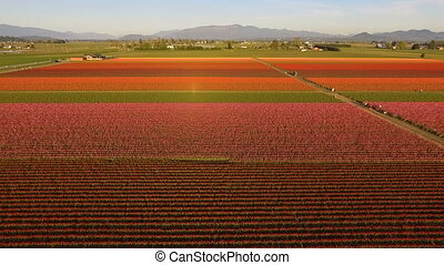 Tulip Varieties Shimmer in Sunlight Floral Agriculture...